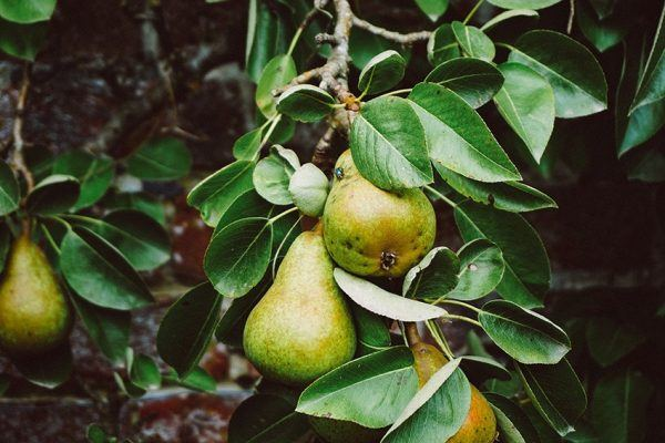 Birnen einkochen - Rezept und Anleitung